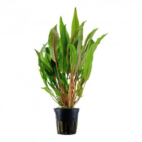 Cryptocoryne undulata 'Broad Leaves' Tropica