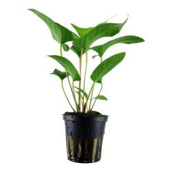 Anubias gracilis Tropica