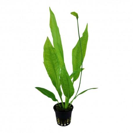 Tropica Echinodorus 'Bleherae' (Single Package)