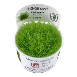 Tropica Utricularia graminifolia 1-2-GROW