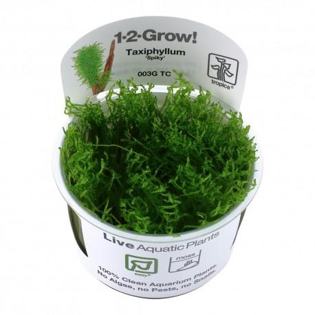 Tropica Taxiphyllum Spiky Moss 1-2-GROW