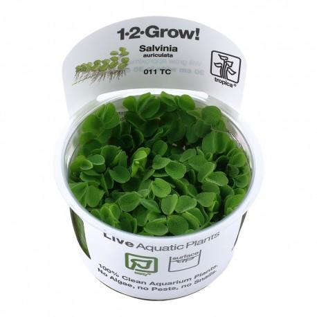 Tropica Salvinia auriculata 1-2-GROW