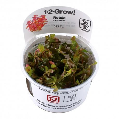 Tropica Rotala macrandra 1-2-GROW