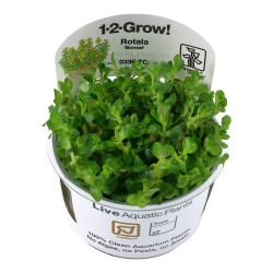 Tropica Rotala Bonsai 1-2-GROW