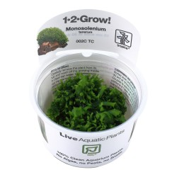 Tropica Monosolenium tenerum liverwort 1-2-GROW