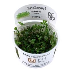 Tropica Marsilea crenata 1-2-GROW