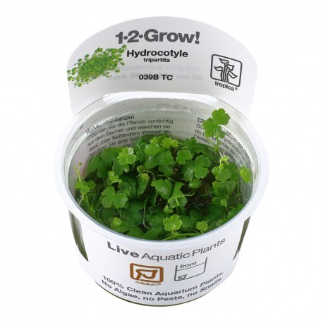 Tropica Hydrocotyle tripartita (Japan) 1-2-GROW