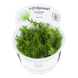 Tropica Gratiola viscidula 1-2-GROW
