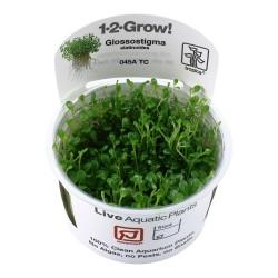 Tropica Glossostigma elatinoides 1-2-GROW