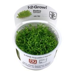 Tropica Elatine hydropiper 1-2-GROW
