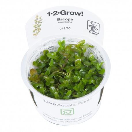 Tropica Bacopa caroliniana 1-2-GROW