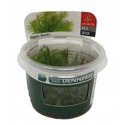 Didiplis diandra Dennerle Plant It (in vitro)