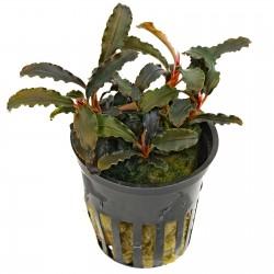 Bucephalandra Kedagang Tropica