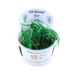 Tropica Blyxa japonica 1-2-GROW