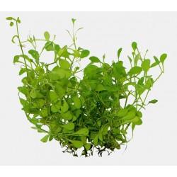 Glossostigma elatinoides Aquafleur Easy Grow