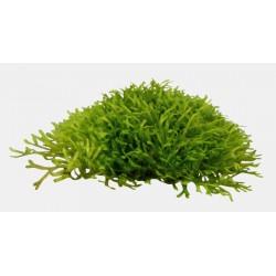 Riccia fluitans Aquafleur Easy Grow